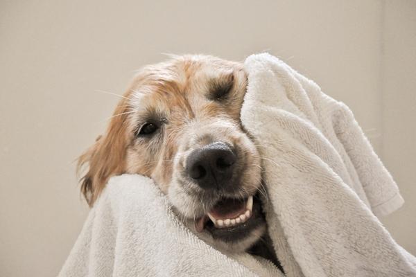799fe4c88704 Οι περισσότεροι ιδιοκτήτες ανεβάζουν τους σκύλους τους πάνω σε κρεβάτια και  καναπέδες και έτσι φροντίζουν να τους κάνουν μπάνιο πολύ συχνά.